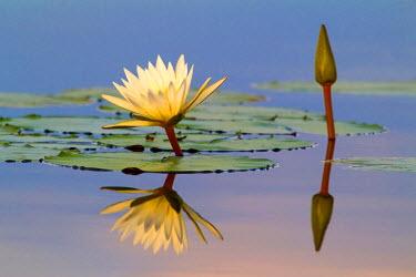 NIS79451 Water Lily (Nympaaea nouchali) reflecting in water, Botswana, Okavango Delta