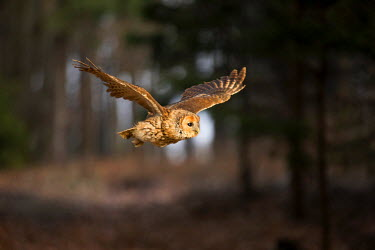 NIS84451 Young Tawny Owl (Strix aluco) flying through a forest, Czech Republic, Zdarske vrchy