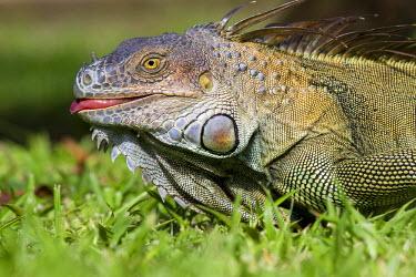 NIS85304 Green iguana (Iguana iguana) portrait, Costa Rica, Limon Province, Tortuguero National Park
