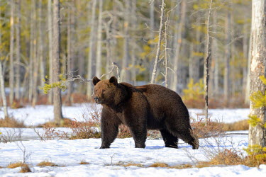 NIS91794 Male Brown Bear (Ursus arctos)  is walking through a snow covered boreal forest, Finland, Oulu, Vartsius