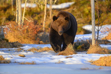 NIS91796 male Brown Bear (Ursus arctos) walking on a snowy patch on the edge of a boreal forest, Finland, Oulu, Vartsius
