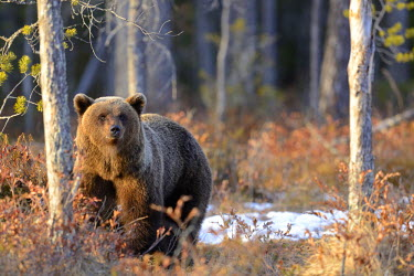 NIS91801 Young Brown Bear (Ursus arctos) standing amidst unidentified shrubs in a boreal forest, Finland, Oulu, Vartsius