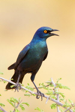 NIS93367 Cape Glossy Starling (Lamprotornis nitens) perched on a thorn bush calling, Namibia, Etosha National Park