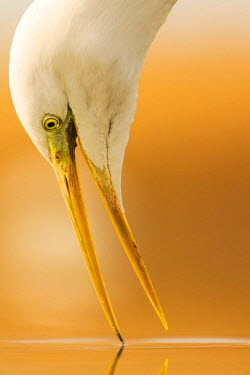 NIS94237 Close-up of a Great Egret (Ardea alba) fishing, Hungary, Bacs-kiskun, Kiskunsagi National Park