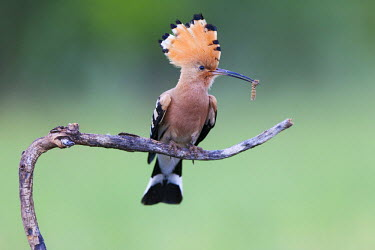 NIS94512 Euarasian Hoopoe (Upupa epops) perched on a branch with crest raised and holding an  unidentified insect larva, Hungary, Bacs-kiskun, Kiskunsagi National Park