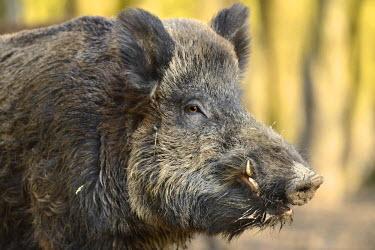NIS137305 Wild Boar (Sus scrofa) male portrait, The Netherlands, Flevoland, Natuurpark Lelystad