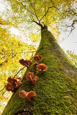 NIS62202 Honey Fungus (Amillaria mellea) growing on and parasitizing a European Beech (Fagus sylvatica), The Netherlands, Gelderland, Warnsborn