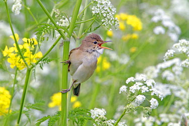 Eurasian Reed Warbler (Acrocephalus scirpaceus) singing in between unidentified flowers, The Netherlands, Utrecht
