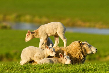 NIS84732 Lambs (Ovis aries) playing on the back of the mother sheep, The Netherlands, Zuid-Holland, Waddinxveen