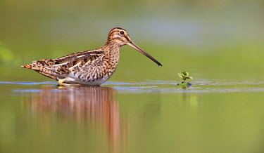 NIS88371 Common Snipe (Gallinago gallinago) crossing the water, The Netherlands, Noord-Holland