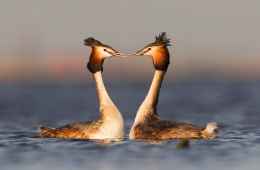 NIS88382 Great Crested Grebes (Podiceps cristatus) in courtship display on the water, The Netherlands, Noord-Holland
