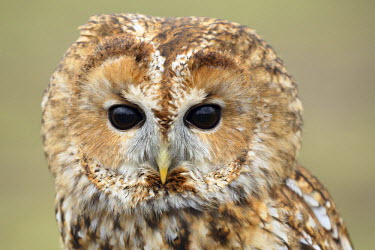 NIS88646 Close up portrait of a Tawny Owl (Stryx aluco), The Netherlands