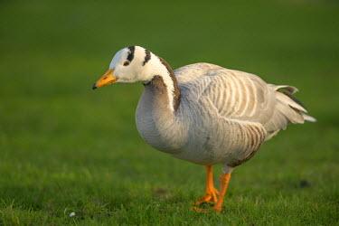 NIS91687 Bar-headed Goose (Anser indicus) walking in grassland, The Netherlands, Zuid-Holland