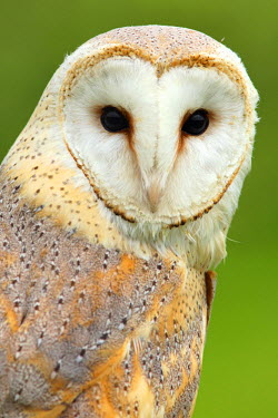 NIS92171 Barn Owl (Tyto alba) portrait against a green background, The Netherlands, Noord-Brabant