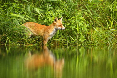 NIS92293 Red Fox (Vulpes vulpes) standing in the water, overlooking the stream. It is wind-still, and the completely smooth surface creates a reflection of the fox in the water., The Netherlands, Noord-holland