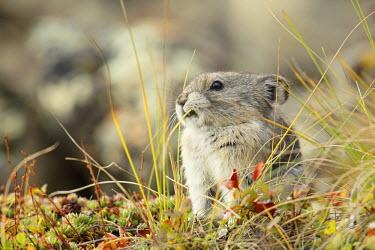 NIS97207 Collared Pika (Ochotona collaris) eating vegetation, United States, Alaska, Denali National Park and Preserve