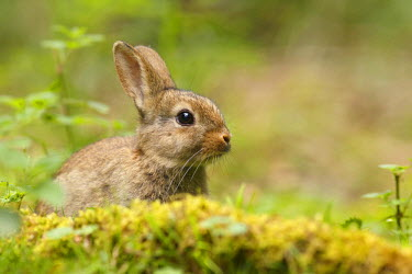 NIS97410 Close up of a Common Rabbit (Oryctolagus cuniculus) hiding behind some moss, The Netherlands, Noord-Holland