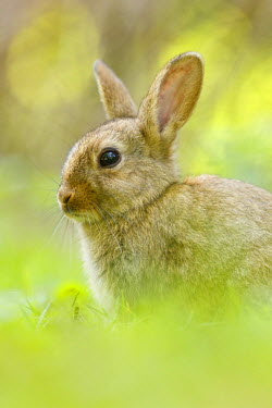 NIS97414 Close up of a Common Rabbit (Oryctolagus cuniculus) sitting in a forest, The Netherlands, Noord-Holland