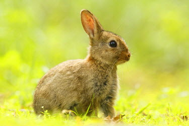 NIS97421 Common Rabbit (Oryctolagus cuniculus) sitting in the grass, The Netherlands, Noord-Holland, Amsterdamse Waterleidingduinen