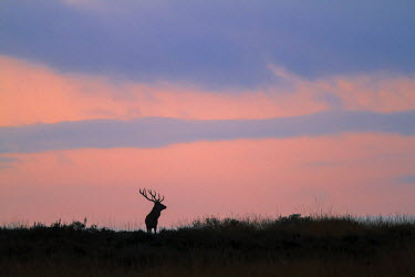 NIS97526 Red Deer (Cervus elaphus) stag standing in field against the red of dawn, The Netherlands, Veluwe