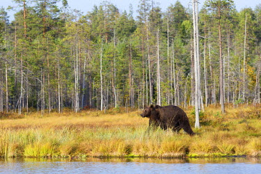 NIS220997 Brown Bear (Ursus arctos) walking along a pond in taiga forest in late evening light, Finland, Kuhmo Vartius