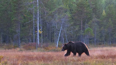 NIS221008 Brown Bear (Ursus arctos) walking in taiga swamp in late evening light, Finland, Kuhmo Vartius