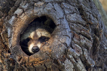 NIS23298 Raccoon (Procyon lotor) in his tree hole, Germany, Saxony, Biosphere Reserve