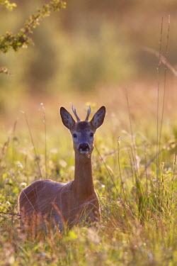 NIS23717 One Roe Deer (Capreolus capreolus) buck in backlight, Germany, Schleswig-Holstein, Nature Reserve Vaaler Moor
