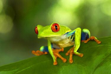 NIS63558 Red-eye Tree Frog (Agalychnis callidryas) resting on leaf in the rainforest, Costa Rica, Limon, Tortuguero National Park