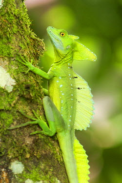 NIS63740 Green Basilisk (Basiliscus plumifrons) on a tree branch in tropical rainforest, Costa Rica