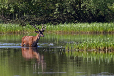 NIS77409 Red Deer (Cervus elaphus) stag with velvet antler crossing a lake, Germany