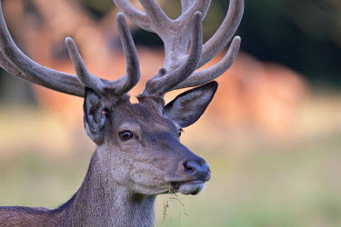 NIS77415 Portrait of a Red Deer (Cervus elaphus) stag with velvet antler, Denmark