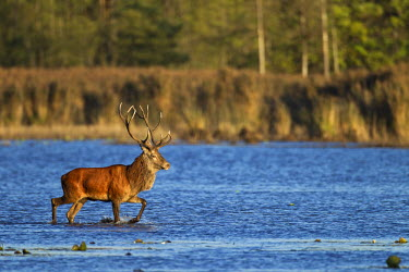 NIS77418 Red Deer (Cervus elaphus) stag crossing a pond, Germany