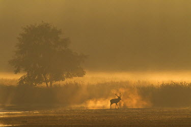 NIS77431 Red Deer (Cervus elaphus) stag standing at a reed belt in dawn, Germany