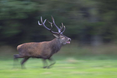NIS77456 Red Deer (Cervus elaphus) stag roaring and walking in a forest meadow, Denmark