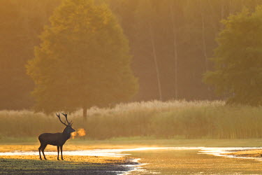 NIS77468 Red Deer (Cervus elaphus) stag standing on a small river at dawn, Germany