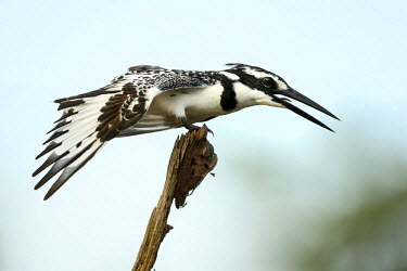 NIS79799 Pied Kingfisher (Ceryle rudis) perched on a branch spreading his wing, Gambia, Marakissa Rivercamp