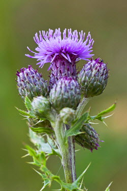 NIS89472 Creeping Thistle (Cirsium arvense) flowering in close up, Germany, Schleswig-Holstein