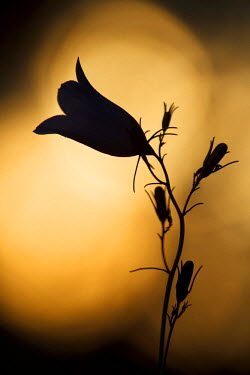 NIS57846 Silhouette of a flowering Bellflower (Campanula sp) against the sunset, Germany, Nordrhein-Westfalen, Eifel