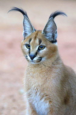 NIS57898 Portrait of Caracal (Felis caracal), South Africa, Kruger National Park