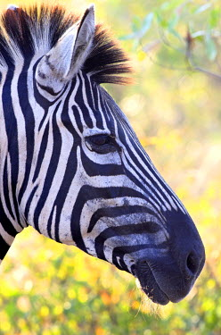 NIS57990 Portrait of a Plains Zebra (Equus quagga), South Africa, Limpopo, Kruger National Park