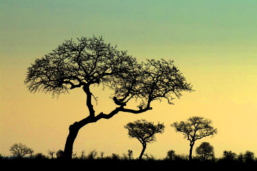 NIS59098 Camel thorn trees (Acacia erioloba) silhouettes at sunset, South Africa, Limpopo, Kruger National Park