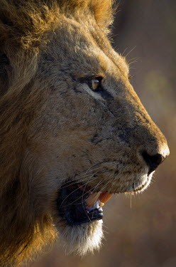 NIS59123 Portrait of a male Lion (Panthera leo), South Africa, Limpopo, Kruger National Park