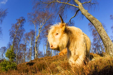 NIS61409 Highland Cattle feeding in native woodland with unidentified birches (Betula sp), United Kingdom, Scotland, Cairngorms National Park