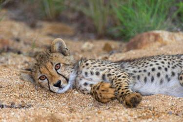 NIS79281 Cheetah (Acinonyx jubatus) cub resting in a small riverbed, South Africa, Mpumalanga, Kruger National park