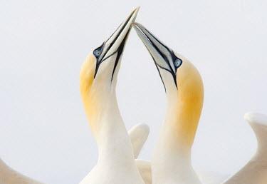 NIS89353 Northern Gannets (Morus bassanus) greeting each other at the coast, Ireland, Saltee Island