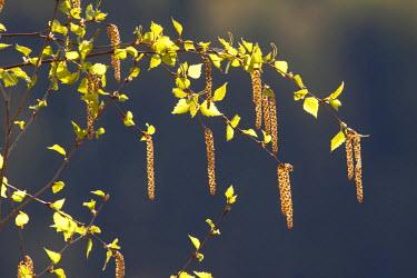 NIS27278 Branch of Silver Birch (Betula pendula) in backlight, Sweden, Dalarna, Fulufjallet National Park