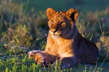 NIS36807 Lion (Panthera leo) male relaxing in late afternoon sun, Tanzania, Serengeti