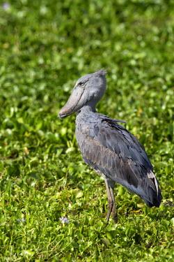 NIS61836 Shoebill (Balaeniceps rex) also known as Whalehead or Shoe-billed Stork is walking through the swamp, Uganda, Masindi District, Murchison Falls
