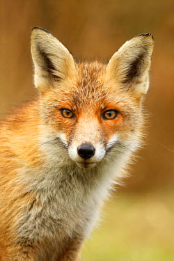 NIS80209 Portrait  of a juvenile Red fox (Vulpes vulpes), The Netherlands, Noord-holland